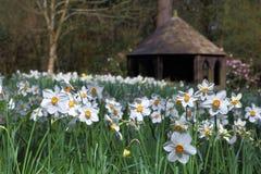 Daffodils & Edwardian Summerhouse. Daffodils surround the Edwardian Summerhouse Stock Photo