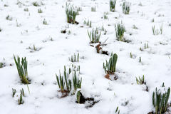 Daffodils emerging through snow. Daffodils emerging through winter snow stock images
