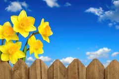 Daffodils, fence and blue sky Royalty Free Stock Photos