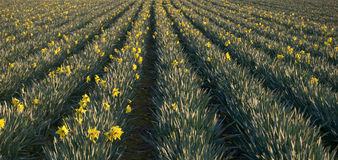 Daffodils field Royalty Free Stock Photos