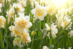 Daffodils in the field Royalty Free Stock Photos