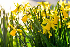 Daffodils field Stock Images