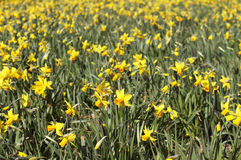 Daffodils. A field of Daffodils in a park Stock Image