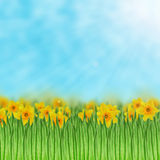 Daffodils field Royalty Free Stock Photo
