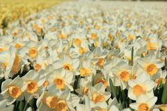 Daffodils in a field Stock Image