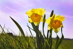 Daffodils in a field Royalty Free Stock Images