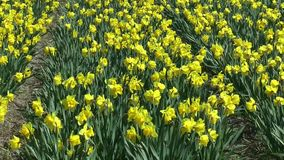 Daffodils. Field with yellow daffodils on bollenstreek in netherlands stock footage