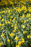 Daffodils field Royalty Free Stock Images