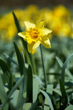 Daffodils field Royalty Free Stock Photo