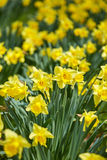 Daffodils field Stock Photography