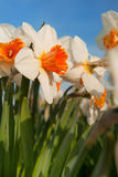 Daffodils in the fields Royalty Free Stock Photography