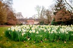 Daffodils flower field in Orangerie park Stock Images