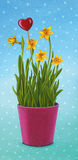 Daffodils flower pot with heart Stock Photo