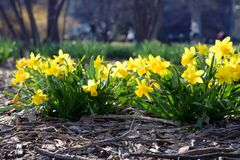Daffodils flower in public park Royalty Free Stock Photos
