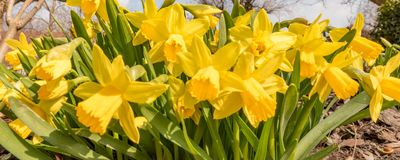 Daffodils flower in spring in front of blue sky royalty free stock photos