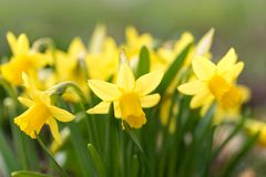 Daffodils flower in spring in the park stock images
