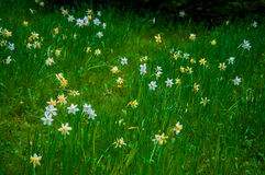Daffodils flowerin bloom on a green field in summer Stock Photo