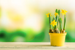 Daffodils in a flowerpot on a shelf. In the spring royalty free stock photos