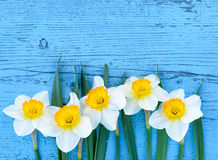 Daffodils flowers on blue wooden background from above. Yellow Daffodils flowers (narcissus) on wooden background from above Royalty Free Stock Photography