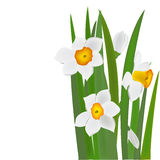 Daffodils flowers and buds Royalty Free Stock Photography