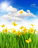 Daffodils flowers and butterflies in green grass.  Royalty Free Stock Photo