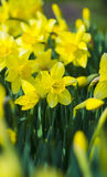 Daffodils. Flowers of daffodils. Yellow daffodil flower in the f Stock Image