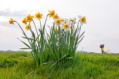 Daffodils flowers in a dutch landscape in Netherlands Stock Photo