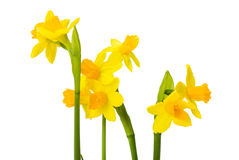 Daffodils flowers Stock Image
