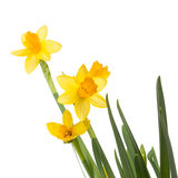 Daffodils flowers isolated on white Royalty Free Stock Image