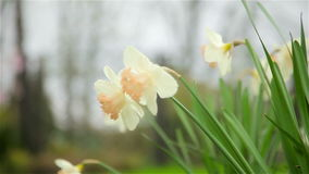 Daffodils flowers spring bloom in the garden. Full HD stock footage
