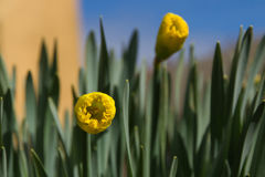 Daffodils Flowers Sprouting Royalty Free Stock Photography