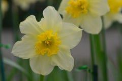 Daffodils, the flowers symbolizing friendship Stock Photos