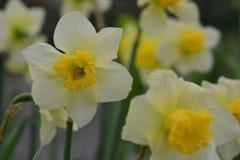 Daffodils, the flowers symbolizing friendship. Stock Image