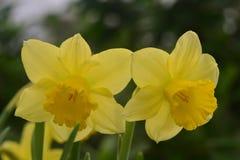 Daffodils, the flowers symbolizing friendship Stock Photo