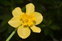 Daffodils, the flowers symbolizing friendship Stock Image