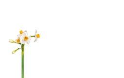 Daffodils Royalty Free Stock Photo