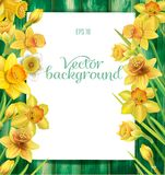 Daffodils flowers on the wooden background Royalty Free Stock Images