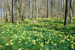Daffodils forest Royalty Free Stock Image