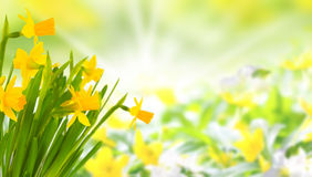 Daffodils in front of anemones Royalty Free Stock Images