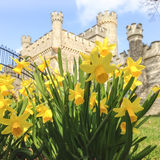 Daffodils in front of Whitstable Castle. Royalty Free Stock Photo