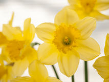 Daffodils in front of a window blind Stock Photography