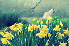 Daffodils garden. Cat sitting in daffodils garden in spring time Royalty Free Stock Photo