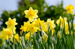 Daffodils in the garden. Yellow Daffodils in the garden Royalty Free Stock Image