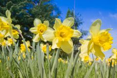 Daffodils in a garden. Against blue sky stock photos