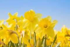 Daffodils in a garden. Against blue sky royalty free stock image