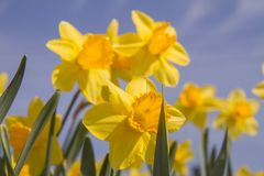 Daffodils in a garden. Against blue sky stock image