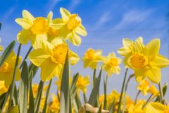 Daffodils in a garden. Against blue sky stock photo