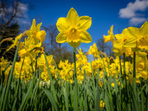 Daffodils in the garden Royalty Free Stock Image