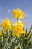 Daffodils in a garden. Against blue sky royalty free stock photography
