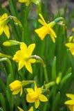 Daffodils in garden Royalty Free Stock Photo